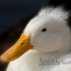The regal white crested duck, Riparian Preserve, Gilbert, AZ